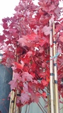 ACER  'AUTUMN GLORY'